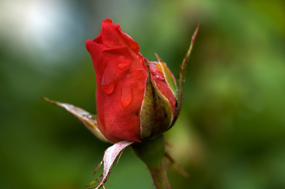 cropped-A_Red_Rose.jpg