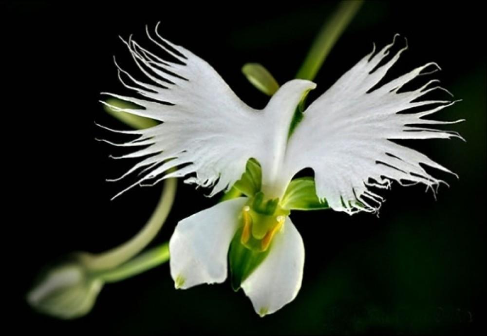cropped-schöne-weiße-taube-form-blume-orchidee-pareidolia-30.jpg